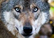 Der Wolf ist nicht zum ersten Mal in Uri unterwegs. (Bild: Keystone)