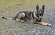 Polizeihund Mitch. (Bild: Luzerner Polizei)