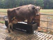 Eine Kuh kühlt sich bei der Hitze die Hufe. (Bild: PD/ Andreas Walter)
