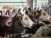 Wegen der Trockenheit ist das Futter für die Kühe knapp. Viele Bauern bringen ihre Tiere deshalb vorzeitig zu tieferen Preisen ins Schlachthaus. Proviande stoppt nun die Importe, um den Markt zu entlasten. (Bild: KEYSTONE/PETER SCHNEIDER)