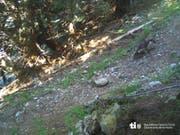 Ein Jungwolf tappte im Morobbiatal in die Fotofalle. (Bild: Dipartimento del territorio TI)