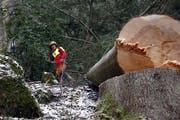 Gefährliche Forstarbeit: Hier wurde etwa in Oberägeri ein Baum gefällt. (Werner Schelbert: 20.Februar 2016)