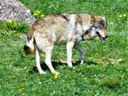 Ein Wolf im Tierpark Goldau. (Bild: Romano Cuonz, 14. Februar 2018)