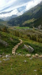Die Tierhalter haben alle auf der Alp Ochesenbördli gesömmerten Schafe am Samstag wieder wieder nach Hause geholt. (Bild: Raphael Bissig, Göschenen, 11. August 2018)