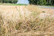 Die anhaltende Hitzeperiode liess auch 1947 das Gras verdorren. (Symbolbild: Andrea Stalder)