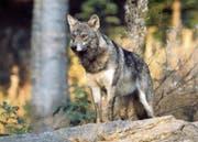 Irgendwo im Zuger Gehölz ist ein Wolf des Calanda Rudels unterwegs. (Bild: Archivbild Romano Cuonz, Nidwaldner Zeitung)