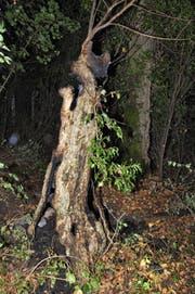 Dieser marode Baum brannte am Samstagabend. (Bild: Zuger Polizei)