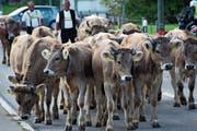 Die Rinder vom Diepoldsauer Schwamm müssen zwei Wochen früher als sonst ins Tal zurück. (Bild: Archiv)