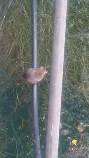 Dieses Tier wurde am Rorschacher Ufer fotografiert. (Bild: zvg)