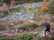 Sollen weniger stark geschützt werden: Zwei Wölfe des Augstbordrudels im Wallis. (Bild: KEYSTONE/GRUPPE WOLF SCHWEIZ GWS)