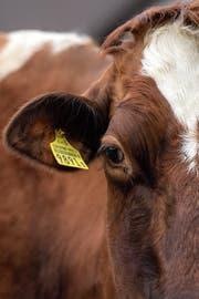 Eine hornlose Kuh auf einem Bauernhof in Schaffhausen. (Bild: Melanie Duchene/Keystone (20.Mai 2018))