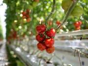 Tomaten: Ein Teil der gehackten, die bei Lidl verkauft wurden, könnten Plastikteile enthalten und dürfen nicht gegessen werden. (Bild: KEYSTONE/GAETAN BALLY)