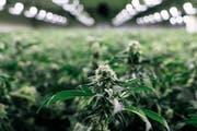 Der Zuger Regierungsrat kann die Folgen einer Cannabis-Liberalisierung nicht einschätzen. Im Bild eine Indoor-Anlage, in der THC-armes Cannabis mit Hilfe von UV-Licht angebaut wird. (KEYSTONE/Christian Beutler)