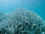 Die warmen Wassertemperaturen der vergangenen Jahre haben zu einer massiven Korallenbleiche geführt. (Bild: KEYSTONE/EPA AAP/WWF AUSTRALIA)