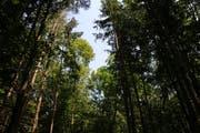 Bäume nicht zu dicht pflanzen: So kann der einzelne Baum genügend Wasser aufnehmen. (Bild: Hans Suter)