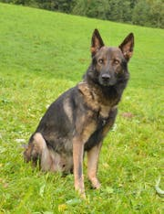 Diensthund Quando leistet bei der Luzerner Polizei gute Dienste. (Bild: PD)