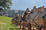 Kühe an der Viehschau der Viehzuchtgenossenschaft Haldi. (Bild: PD)