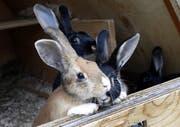 Das Tierheim in Allenwinden finden viele Tiere Unterschlupf, auch Hasen. (Bild: Werner Schelbert)