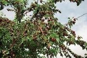 Der Maulbeerbaum mit reifen Früchten. (Bild: Getty)