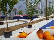 Bereit zum Einpflanzen: Im Aargau werden bald Aprikosen in Folientunneln für den Direktverkauf produziert. Schweizweit soll die grösste Aprikosen-Anbaufläche unter Folientunnels entstehen. (Bild: Thomas Gerber/Keystone-SDA)