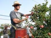 Obstbauer Ralph Gilg bei der Apfelernte im thurgauischen Fruthwilen. Die Apfelernte findet dieses Jahr wegen der Trockenheit früher statt. Die Früchte sind teilweise kleiner. (Bild: KEYSTONE/GIAN EHRENZELLER)
