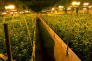 Ein Blick in die Hanfplantage, in welcher sich die Schiesserei ereignet hat. (Bild: Keystone)
