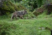 Ein Wolf im Tierpark Goldau. (Bild: Romano Cuonz)