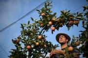 Apfelernte im Betrieb von Ralph Gilg in Fruthwilen. Die Ernte findet dieses Jahr wegen der Hitze früher statt. Die Früchtesind teilweise kleiner. (KEYSTONE/Gian Ehrenzeller)
