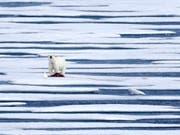 Ein Eisbär hat im hohen Norden Kanadas einen Jäger getötet. (Bild: KEYSTONE/AP/DAVID GOLDMAN)