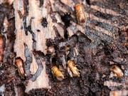 Ideale Wetterbedingungen für den Borkenkäfer in diesem Jahr: Leidtragende sind die Bäume, deren Bastschicht vom Käfer aufgefressen werden. (Bild: KEYSTONE/ALEXANDRA WEY)