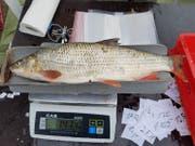 Dieser Fisch wird gewogen. (Bild: PD/Pascal Vonlanthen)