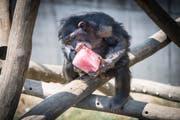 Im Walter-Zoo werden die Schimpansen wegen der Hitze mit Fruchtglace gefüttert (Bild: Ralph Ribi)