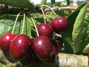 Erfolgreiche Ernte: Es gab nicht nur mehr Kirschen als im Vorjahr, die Früchte waren auch deutlich grösser. (Bild: Dominik Binder/landwirtschaft.ch)