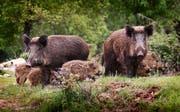 Wildschweine fühlen sich im Gebiet Sevelen/Buchs/Grabs «sauwohl». (Bild: zolastro/Fotolia)
