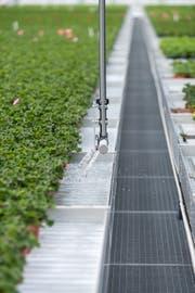 Blick in die Gärtnerei Rutishauser: Nicht alle Betriebe haben Probleme, die Pflanzen zu bewässern. (Bild: PD)