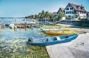 Der tiefe Wasserstand bringt am Hafen in Ermatingen Algen zum Vorschein. (Bild: Andrea Stalder)