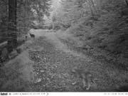 In die Fotofalle getappt: Zwar etwas unscharf, aber beim genauen Hinsehen sind Jungwölfe zu erkennen. (Bild: AfJF)