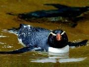 Dieser Dickschnabelpinguin geniesst das gemütliche Leben im Zoo - seine freilebenden Artgenossen sind wahre Langstreckenschwimmer und überwinden enorme Strecken.