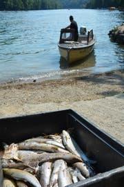 Ein Fischer holt tote Fische aus dem Rhein. (Bild: David Grob)