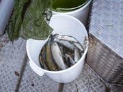 Im Rhein sterben die Fische: Bis jetzt wurde bei Schaffhausen schon eine Tonne toter Äschen aus dem Wasser gefischt. Wird es nun nicht bald kühler, kommt es zu einem Massensterben wie im Hitzesommer 2003. (Bild: KEYSTONE/MELANIE DUCHENE)