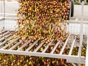 Mostobst in Hülle und Fülle: Nach dem mageren letzten Jahr dürfte heuer eine grosse Ernte anfallen. (Bild: KEYSTONE/GAETAN BALLY)