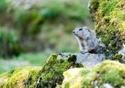Eines der «Murmeli» im Tierpark Goldau. (Bild: Tierpark)