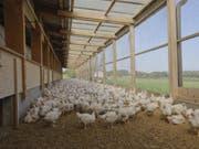 In der Schweiz werden Masthühner in Bodenhaltung auf Einstreue gehalten. Bei der «besonders tierfreundlichen Stallhaltung» (BTS) erhalten die Hühner zusätzlichen Auslauf in einem Aussenklimabereich. (Bild: SGP)