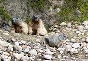 Die jungen Murmeltiere sind jetzt erstmals zu sehen. (Bild: Tierpark)