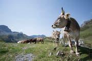 Dürre Alpweiden, nichts zu fressen: Ostschweizer Kühe müssen früher zurück ins Tal. (Symbolbild: Keystone)