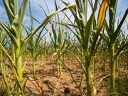 Durch die Dürre beschädigte Maispflanzen. (Bild: Keystone/dpa/DANIEL KARMANN)