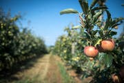 Blick in eine Apfelplantage in Güttingen. Obstbauern dürfen ihre Pflanzen unter Auflagen wieder bewässern. (Bild: Reto Martin)
