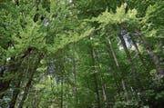 Der Wald ist schon lange nicht mehr wilde Natur: Ohne menschliches Eingreifen wäre die Region Werdenberg und Obertoggenburg fast ausschliesslich von Buchen überwuchert. (Bild: Jessica Nigg)
