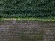 Markante Auswirkungen des Wassermangels sind bei landwirtschaftlichem Kulturland deutlich sichtbar. (Symbolbild: Pius Amrein, 5.8.2018)