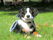 Weit weniger verbreitet als früher: Der Appenzeller Sennenhund. (Bild: Armando Bianco)